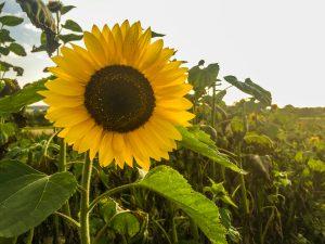 Rollawage_Sonnenblumen-1