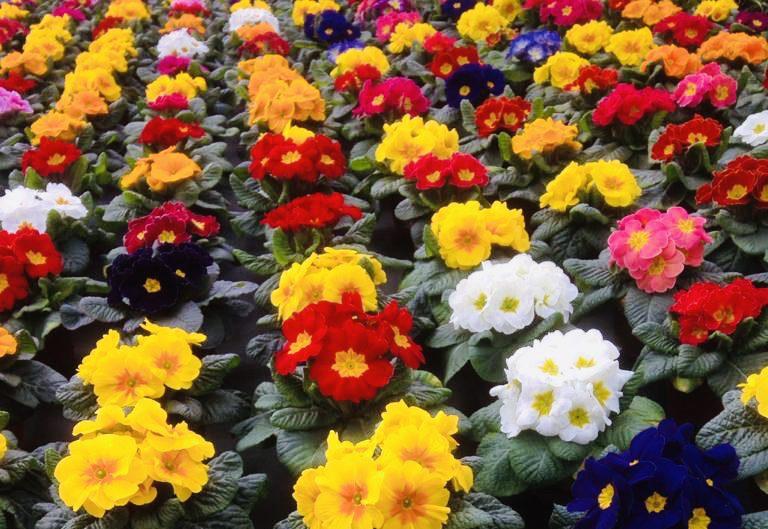 Bunte Vielfalt an Frühlingsblumen Primeln