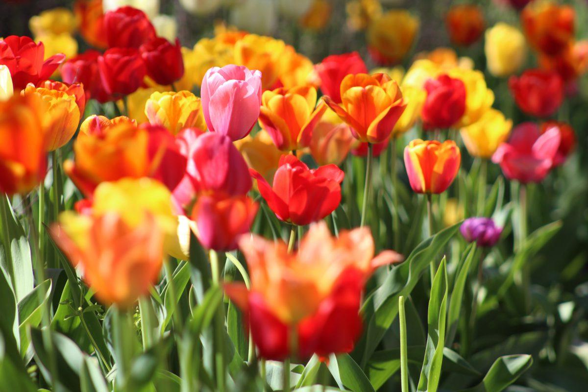 Tulpenfeld - Öffnungszeiten zu Ostern
