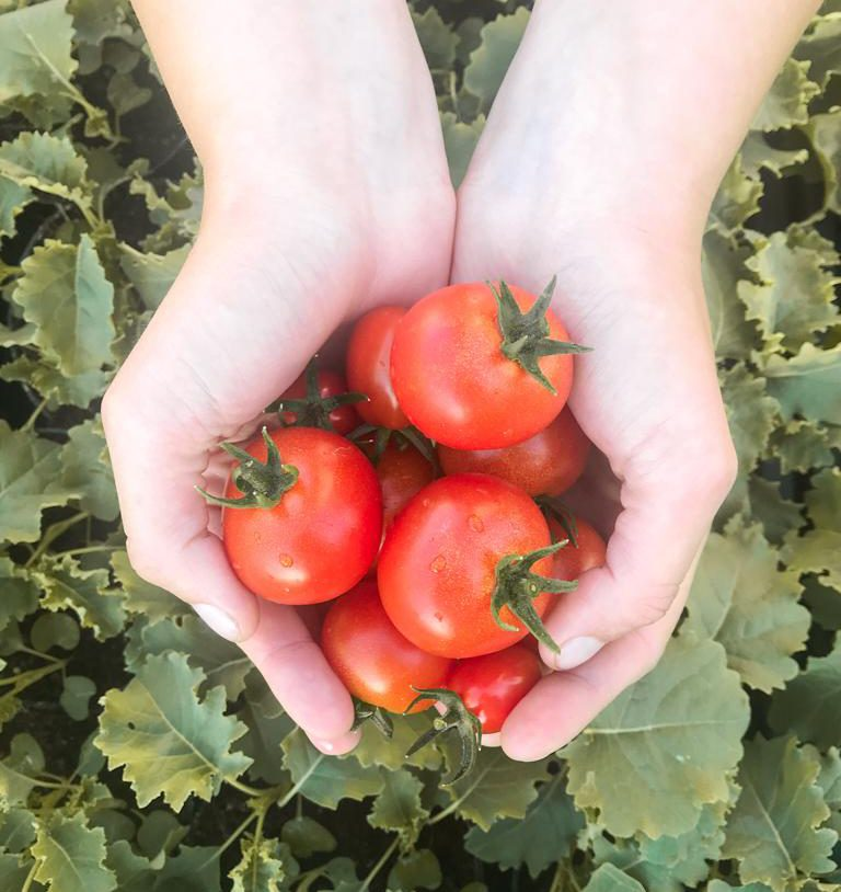 Tomaten zum Selberpflücken