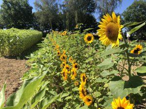 Sonnenblumen - neues Pflückefeld